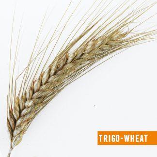 Trigo-wheat